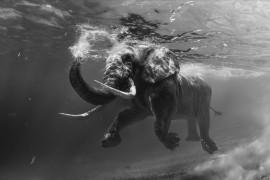 elefante_nadando_01